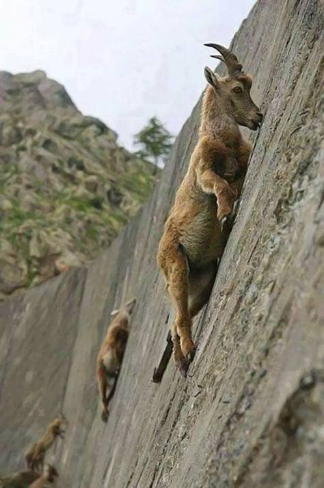 Mountain Goats don't care about your gravity