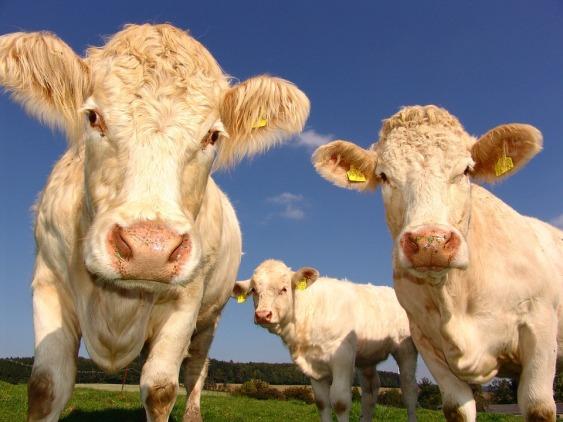 cows-1029077_960_720
