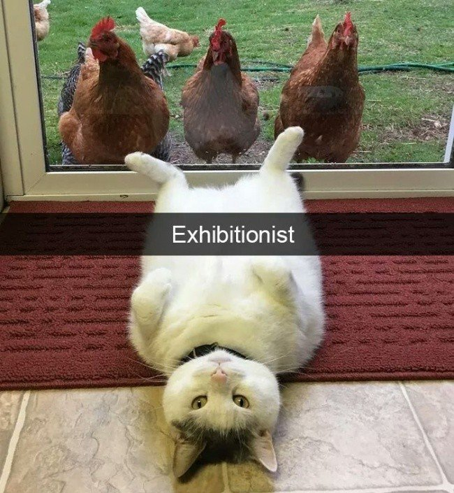 funny-cat-exhibitionist-chickens