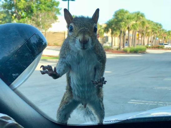 The carjacking squirrel. Port St. Lucie Police Department shared this photo of a critter who hopped onto a patrol car Monday morning. Squirrel fled the scene.