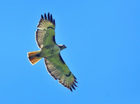 red-tailed-hawk-947416_960_720