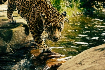 leopard-2578114_1280