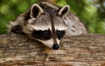 raccoon-3538081_1280