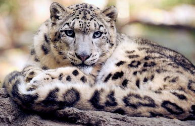 snow-leopard-1378691_960_720